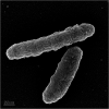 Scanning electron micrograph of strain NSS